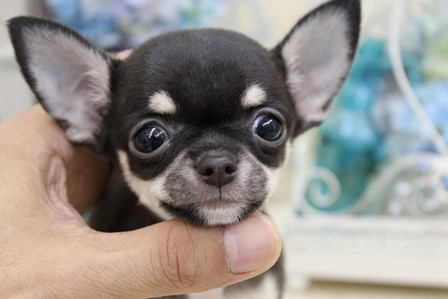 Image result for chihuahua 犬 愛らしい