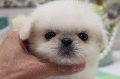 目がくりくりのペキニーズの赤ちゃん